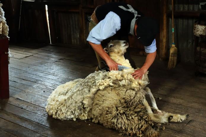 Sheering sheep