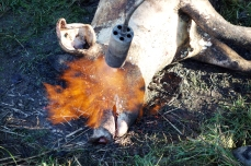 """Perzselés"" is carried out all over the body of the animal. In addition to burning the skin, it causes the flesh to stiffen, making it easier to chop into."