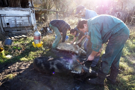 The men and boys prep the three pigs for butchery. The pigs have each been killed with a quick stab to the throat. Their blood has been drained to use for making blood sausage.